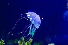 Meduse con i pesci Fotografie Stock Libere da Diritti