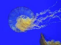 Meduse dell'ortica del mare Fotografia Stock