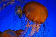 Meduse dell'ortica del mare fotografie stock libere da diritti