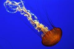 Meduse dell'ortica del mare Fotografie Stock