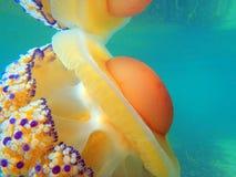 Meduse della medusa Fotografia Stock