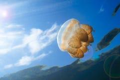 Meduse di Palau Fotografia Stock Libera da Diritti