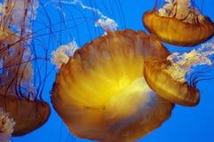 Meduse in discesa 2 Fotografie Stock Libere da Diritti