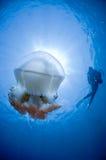 Meduse e un operatore subacqueo fotografia stock