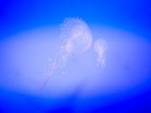 Meduse in Hanwah Aqua Planet Jeju, Seopjikoji vicino individuato fotografia stock libera da diritti