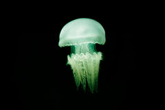 Meduse illuminate Immagine Stock Libera da Diritti