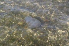 Meduse lilla nella baia del Mar Nero Fotografia Stock