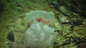 Meduse morte, pulmo di Rhizostoma, galleggiante nella colonna di acqua archivi video