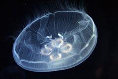 Meduse nel Mar Mediterraneo Fotografia Stock