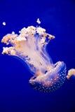 Meduse nell'acqua Immagine Stock