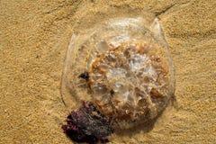Meduse nella sabbia della spiaggia Fotografia Stock Libera da Diritti