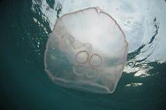 Meduse in oceano Immagini Stock