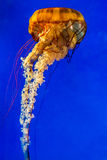 Meduse pacifiche dell'ortica del mare Fotografia Stock Libera da Diritti