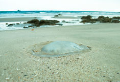 Meduse som kastas på sand Royaltyfria Bilder