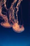Meduse a strisce porpora, colorata della chrysaora Fotografia Stock Libera da Diritti