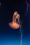 Meduse a strisce porpora, colorata della chrysaora Immagine Stock Libera da Diritti