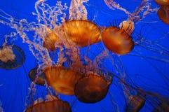 Meduse Ubderwater Immagine Stock