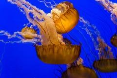 Meduse in un acquario Fotografia Stock