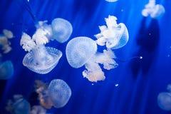 Meduse in un acquario con acqua blu Fotografia Stock Libera da Diritti