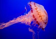 Meduse Viola-A strisce Fotografia Stock Libera da Diritti