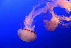 Meduz Jellyfish Obraz Royalty Free