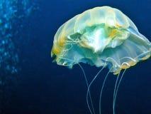 meduza. Obraz Stock