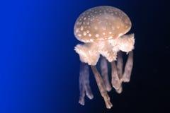 meduza. Obrazy Stock