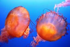 meduza. zdjęcie royalty free