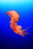 meduza. fotografia royalty free