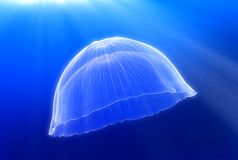meduza. Zdjęcia Royalty Free