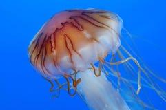 meduza Obraz Royalty Free
