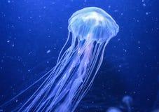 meduza Fotografia Stock