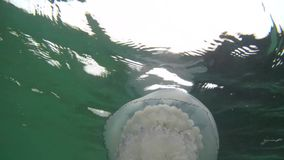 Meduza floating iin the Black Sea. stock footage