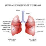 Medyczna struktura płuca Obraz Royalty Free