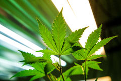 Medyczni marihuana liście obraz royalty free
