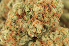 Medyczny marihuana pączka zbliżenie, marihuana makro- Obrazy Royalty Free