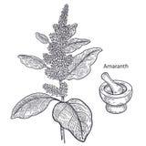Medyczny roślina amarant ilustracja wektor