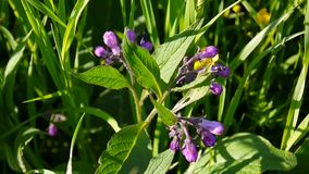 Medyczny zielarski Pospolity Comfrey Symphytum officinale kwiat na dzikiej łące Materiał filmowy strzelanina statyczna kamera zdjęcie wideo