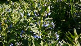 Medyczny zielarski Pospolity Comfrey Symphytum officinale kwiat na dzikiej łące Materiał filmowy strzelanina statyczna kamera zbiory