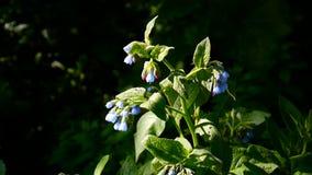 Medyczny zielarski Pospolity Comfrey Symphytum officinale kwiat na dzikiej łące Materiał filmowy strzelanina statyczna kamera zbiory wideo