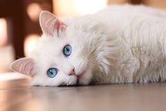 Medytować kota Zdjęcie Royalty Free