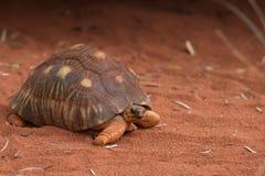 Meegespeelde Schildpad Stock Foto