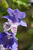 Meehania urticifolia Royaltyfri Bild