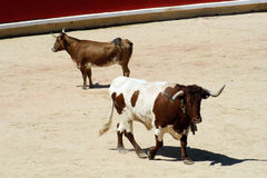 Meek and rude heifer in a bullring. Royalty Free Stock Photos