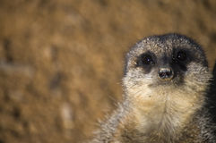 Meekar close up. Close up of a beautiful meerkat in the London Zoo Royalty Free Stock Photography