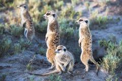 Meerkats Stockfoto