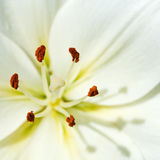Meeldraad en stamper van witte bloem Lilium Stock Fotografie