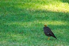 Meelijwekkende zwarte Myna-vogel met een featherless hoofd, hoppen rond een Thais park, vergeetachtig van zijn verschil stock foto
