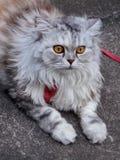 Meemee. Persian cat Grayish-brown hair, sweet face, like to eat lizards Royalty Free Stock Photos