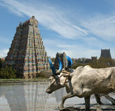 Meenakshi Hindu temple in Madurai, Tamil Nadu. Buffaloes in the rice fields on the background of Meenakshi Hindu temple in Madurai, Tamil Nadu, South India Stock Photography